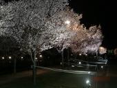 LED_385_sakura2