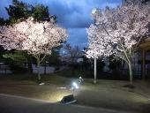 LED_386_sakura3